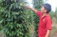 Giá tiêu lâm khủng hoảng, nông dân 'đánh liều' với giống tiêu lốt