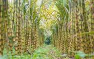 Phát triển vùng nguyên liệu góp phần vực dậy ngành mía đường