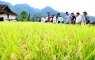 Sắc vàng lúa Nhật trên cao nguyên đá